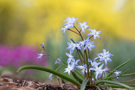 petites fleurs: Gros plan de petites fleurs sauvages bleues