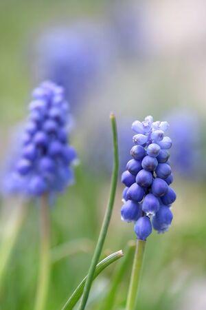 close shot: Close up shot of Hyacinth flowers