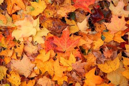 Bright color Maple leaves on the ground