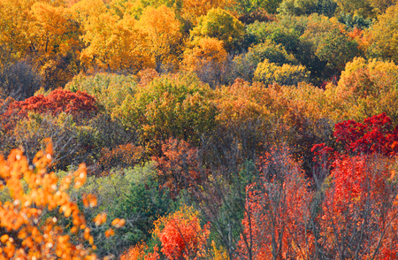 autumn color: Canopy of bright color autumn trees in West Virginia