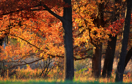 maple trees: Bright maple trees in autumn time