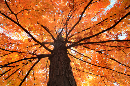 Bright orange Maple tree view from bottom
