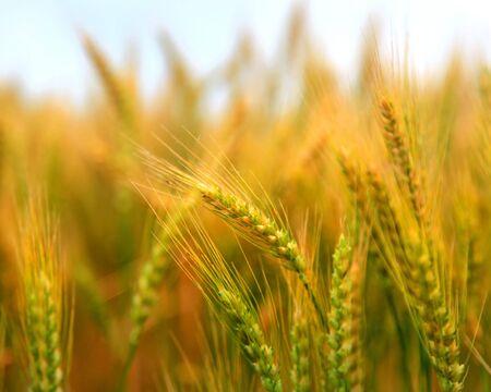 cebada: oídos de oro del trigo se cierran encima de tiro