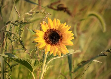 helianthus: Close up shot of Sun flower