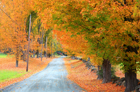 maples: Tunnel of autumn trees