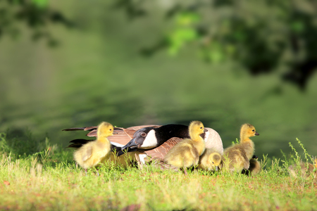 brethren: Canadian Goose and Goslings by the pond