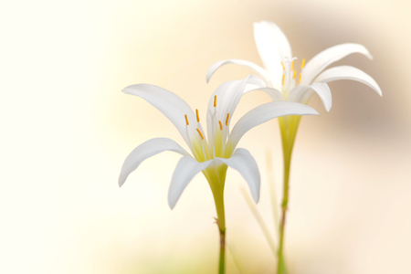 Two white rain Lily flowers close up shot Stock Photo