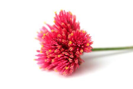 Daisy flower bud against white background