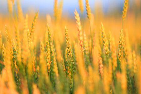 field crop: Yellow wheat field, fresh crop of wheat background Stock Photo