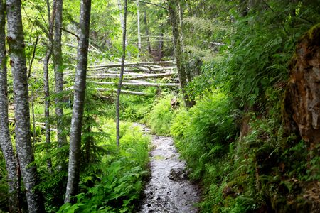 Walk way through lush green forest in Mount Rainier,WA,USA Stock Photo
