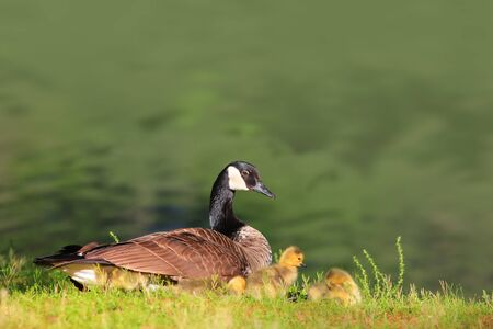 wildfowl: Canadian Goose and Goslings by the pond