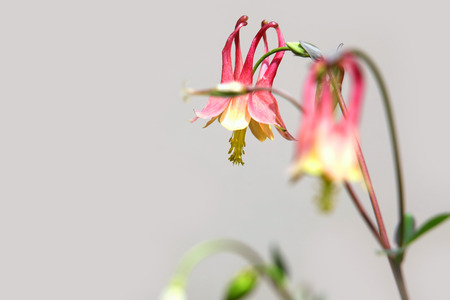 Close up shot of red columbine flowers Stock Photo