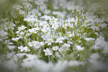 cerastium tomentosum: Snow white flowers in the park Stock Photo