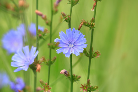 Cichorium intybus flowers close up shot Stock Photo
