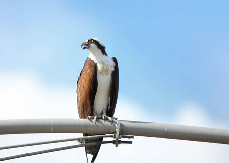 bird eating raptors: Close up shot of hawk on electrical pole Stock Photo