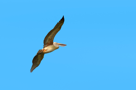 pelican bird flying in the sky stock photo picture and royalty free