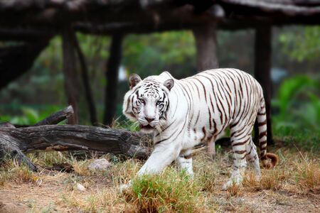 Close up shot of White Tiger Stock Photo