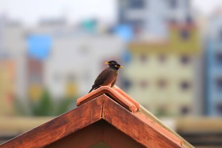 common myna bird: Two common Myna birds on the roof Stock Photo