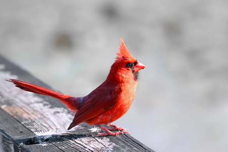 snow cardinal: Close up shot of Cardinal