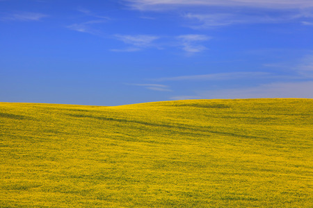 Rapeseed fields in Palouse washington