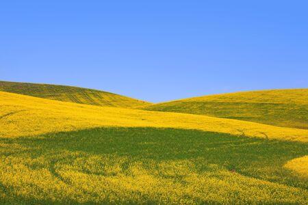 Rapeseed fields in Palouse washington  Rapeseed fields in Palouse washington