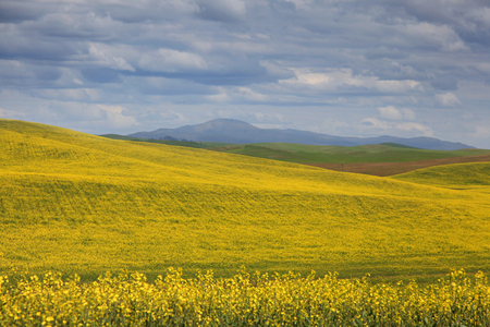 Rapeseed fields in Palouse washington  Rapeseed fields in Palouse washington