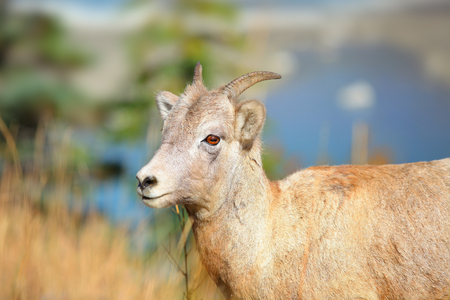 Close up shot of mountain goat Stock Photo