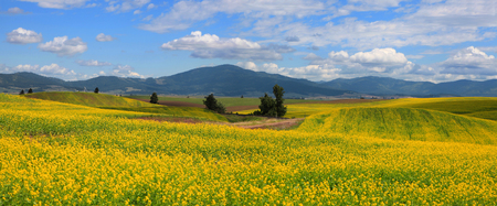 Panoramic view of Rapeseed fields in Palouse Washington state