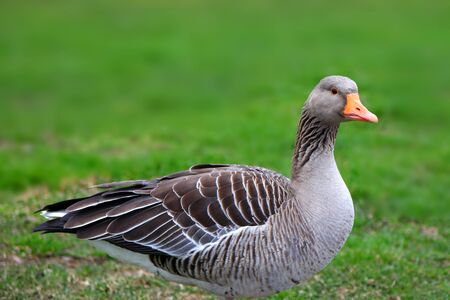 Close up shot of goose in the meadow Stock Photo