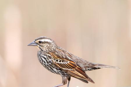 Close up shot of Pine Siskin bird Фото со стока