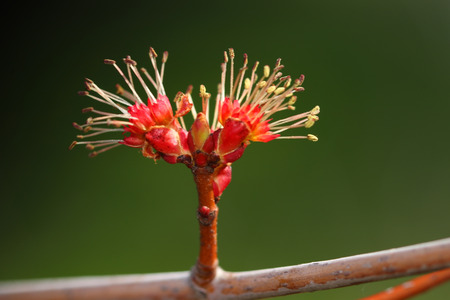 Red maple tree budding in the early spring