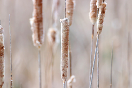Dry Cattails in marsh close up shot Stock Photo