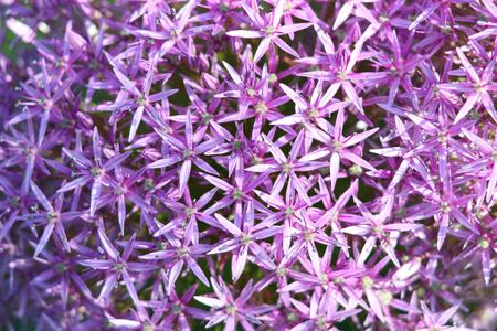 Close up shot of Allium flower