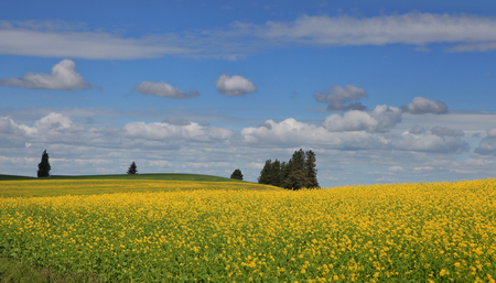 Rapeseed fields in Palouse Washington state Stock Photo