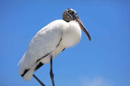 Ibis bird against blue sky