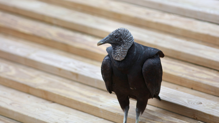 Black Vulture on the wooden stairs