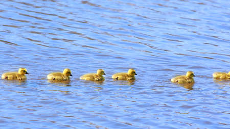 Many Goslings in a row following mother Goose