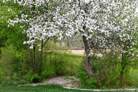 Spring bloom on apple tree Stock Photo