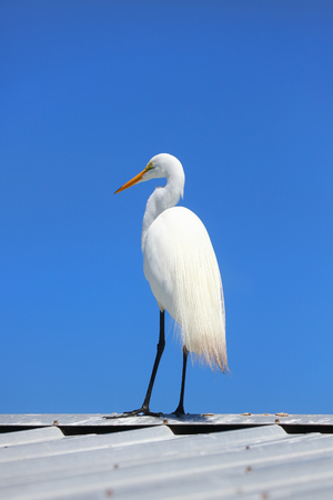 Close up shot of Snow white Egret against blue sky