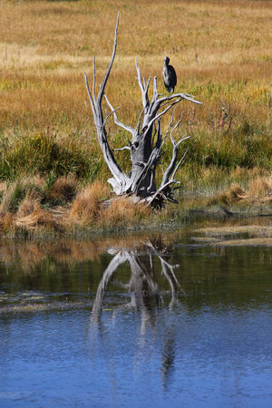 Single blue heron on the tree in Yellowstone national park