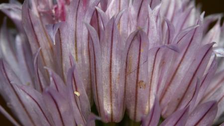 Close up shot of pink wild flower petals