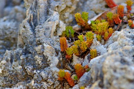 Small freshly grown succulent baby tears  plants between rocks
