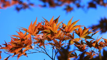 Close up shot of Japanese maple leaves Zdjęcie Seryjne