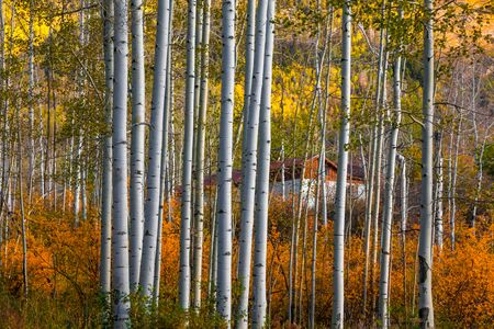 Row of Aspen trees in autumn time near Marble, Colorado