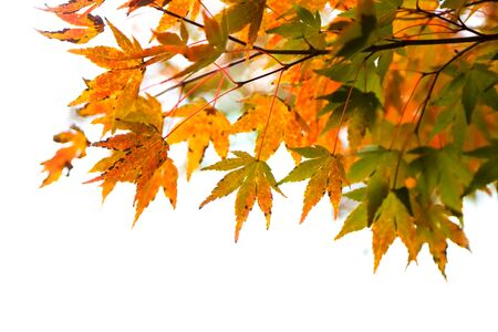 Close up shot of colorful Japanese maple leaves