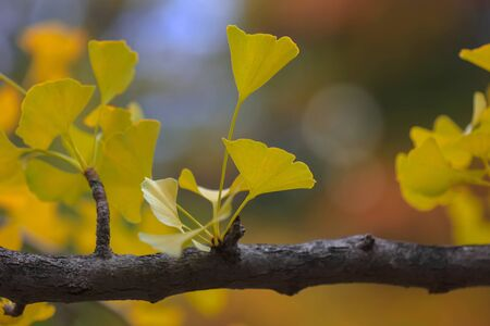 Close up shot of Ginko leaves in autumn time