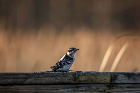 Middle spotted baby woodpecker on a log
