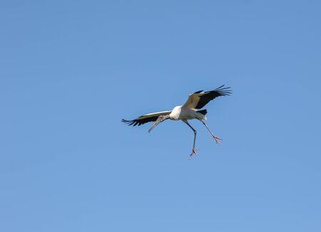 Black necked stork flying in blue sky Stockfoto