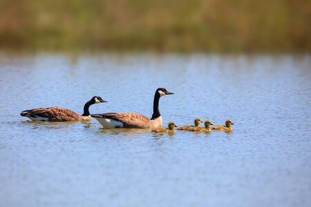 Canadian goose family in the lake