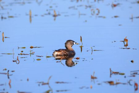 Pied-billed grebe in the lake